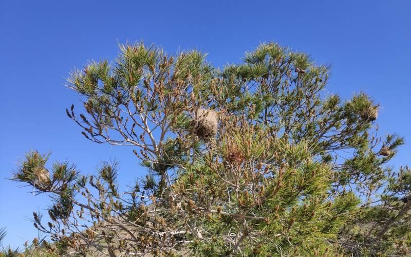 processierupsen nest
