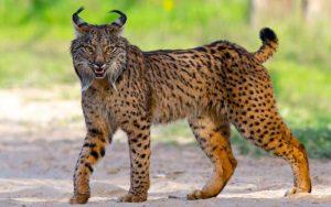 Iberian lynx - Doñana National Park, Spain _ Last week me & … _ Flickr Martin Loftus_files