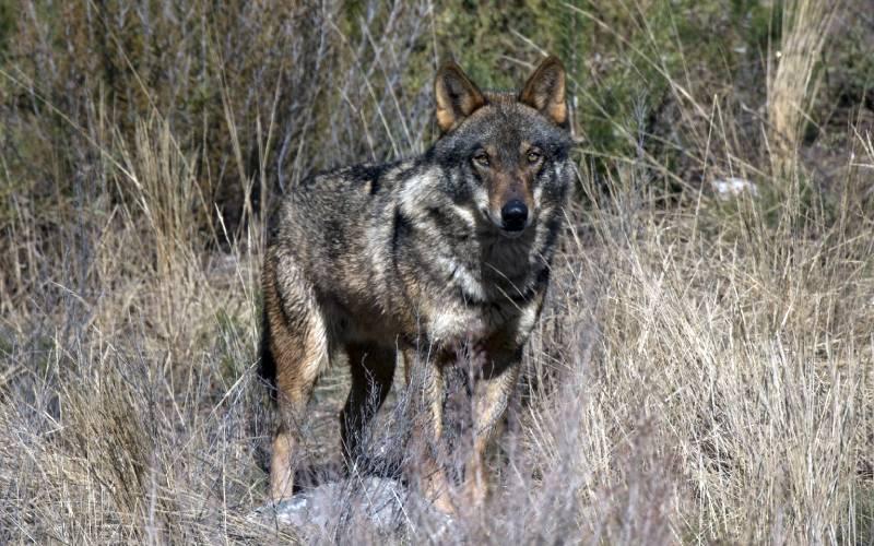 Iberian wolf _ Un impresionante macho adulto en pelaje inver… _ Rubén Ramos Blanco _ Flickr_files