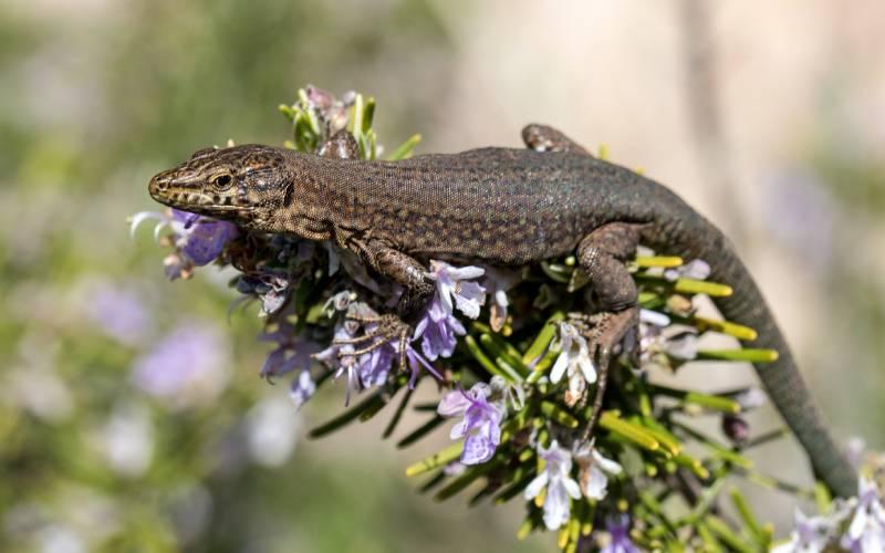 Dragonera-Eidechse _ Mallorca - Sa Dragonera _ foto Oliver _ Flickr